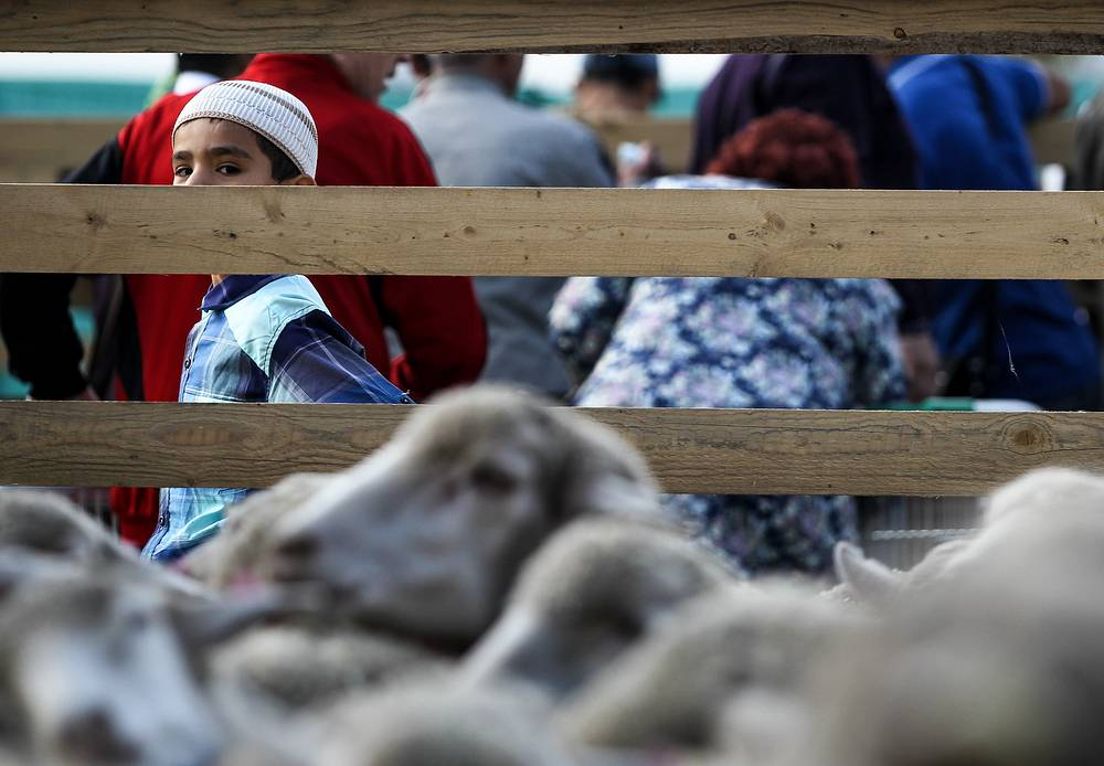 Sacrificial sheep seen on Eid al-Adha in Kazan