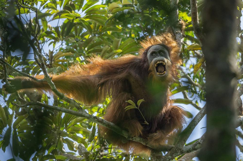 US photographer Tim Laman,1st prize stories in the Nature category. The picture shows a Sumatran orangutan threatening another nearby male in the Batang Toru Forest, North Sumatra Province, Indonesia, 17 March 2014
