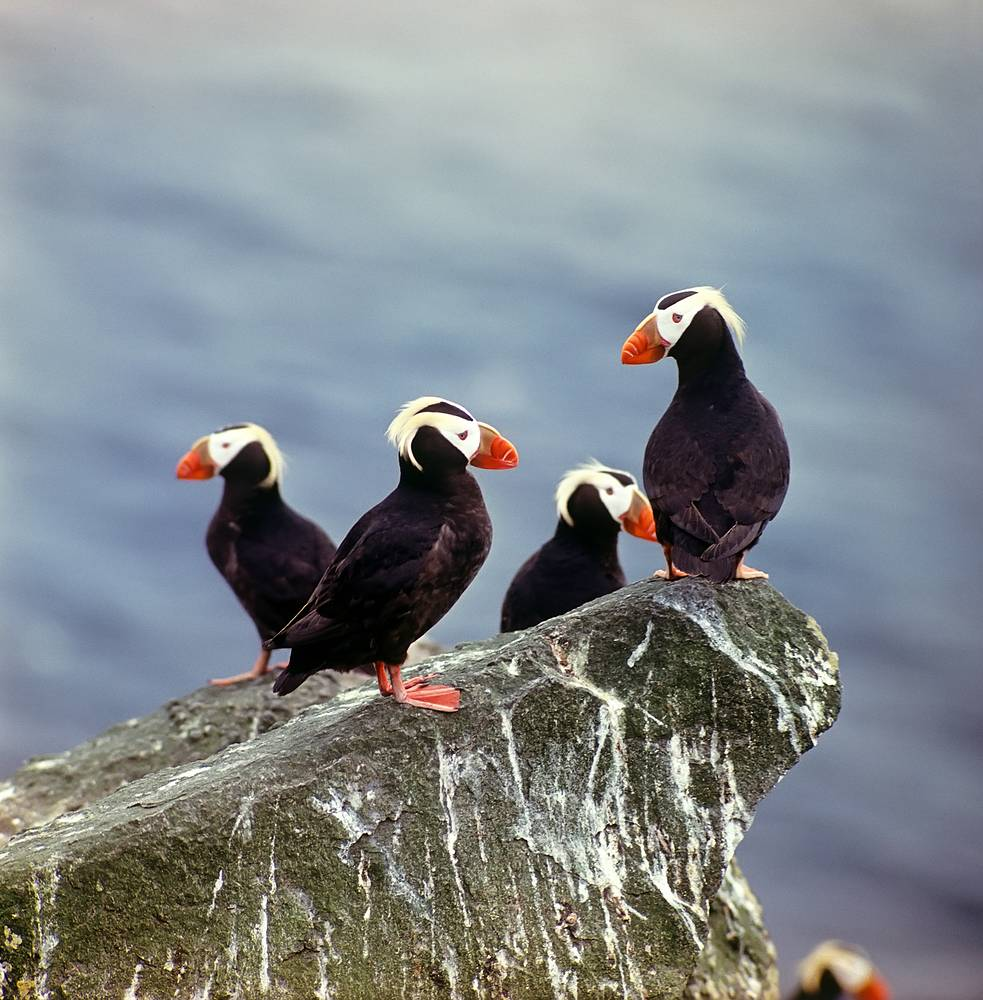 Tufted puffins in Kronotsky State Biosphere Reserve