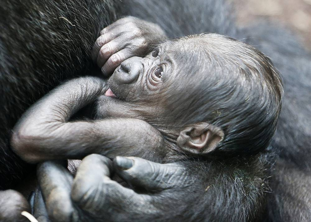 A six-days-old gorilla baby in the arms of its mother Shira at the zoo in Frankfurt, Germany, September 21