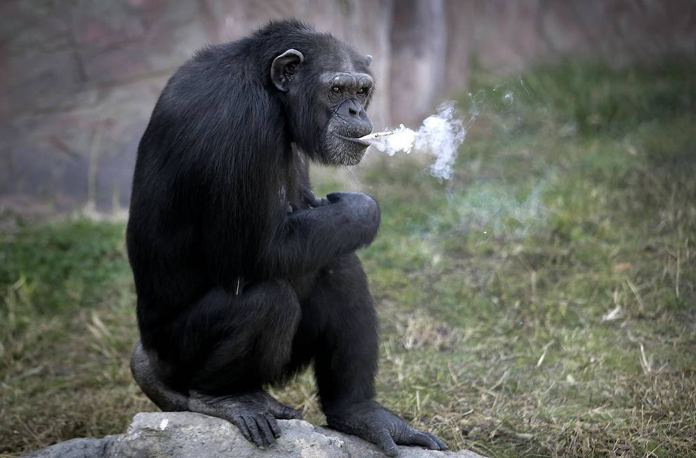 """Azalea, a 19-year-old female chimpanzee whose Korean name is """"Dallae,"""" smokes a cigarette at the Central Zoo in Pyongyang, North Korea, October 19"""