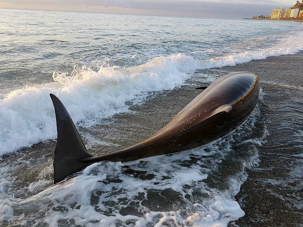 A beached dolphin lies on the shore in a beach of Almunecar, in the province of Granada, Spain. The five-metres long cetacean was found alive and returned to the sea with the help of locals