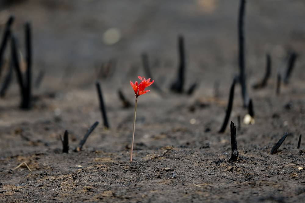 A flower shoots through a landscape razed by wildfires in Chile, February 2