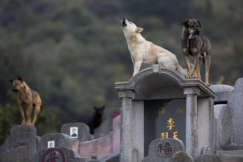 Stray dogs stand on tombs in Diamond Hill cemetery in Hong Kong, where the Qingming Festival, also known as Tomb-Sweeping Day, is observed, China, April 4