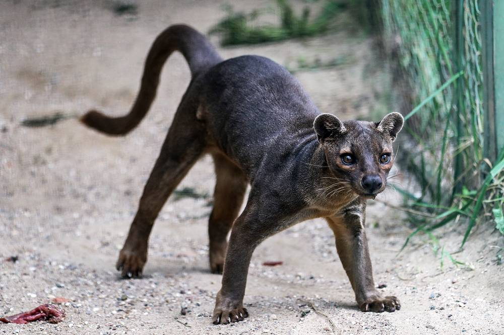 A fossa at Moscow Zoo's breeding center