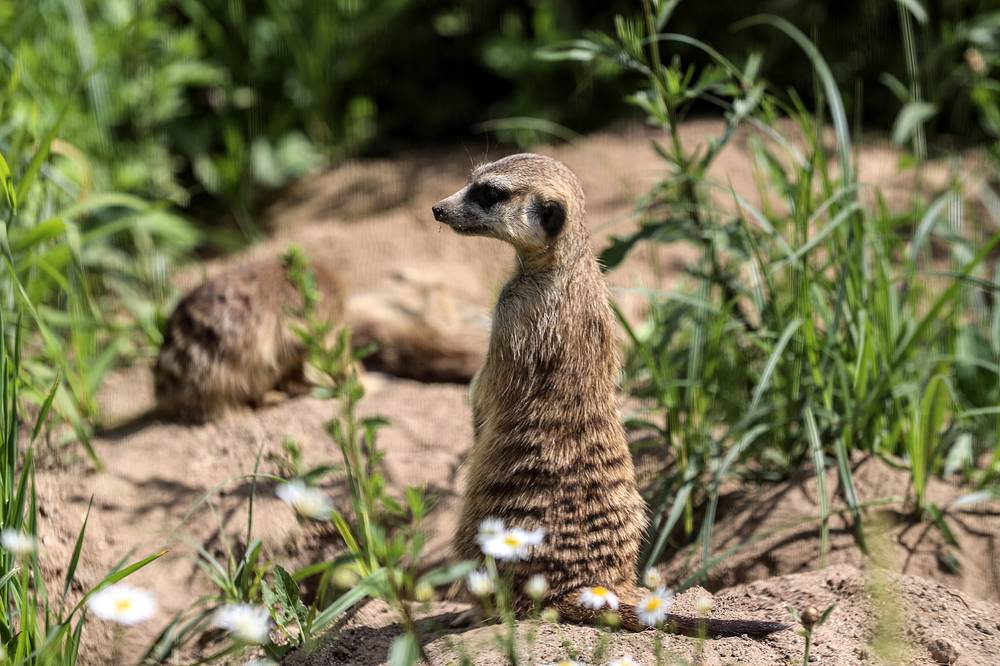 78 of the species are included in the Russian Red Data Book and in the Red List of Threatened Species of the International Union for Conservation of Nature. Photo: A meerkat