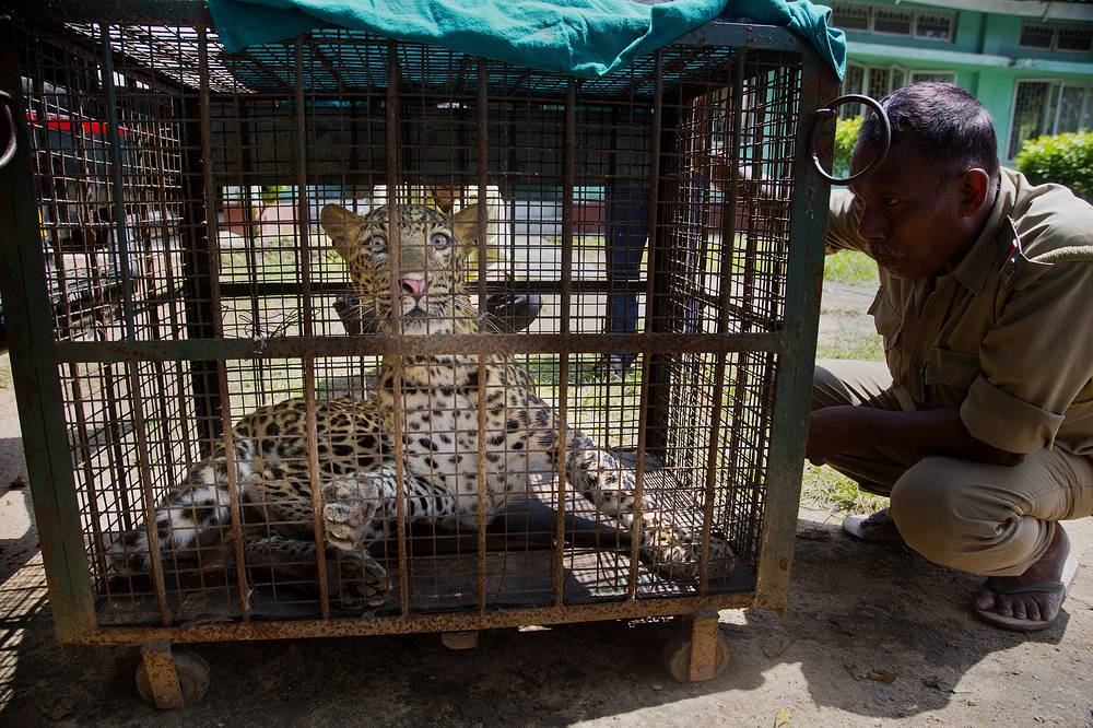 An Indian forest guard looks at a leopard they tranquilized and captured from a residence after it was brought in a cage to the state zoological park in Gauhati, Assam state, India, September 13