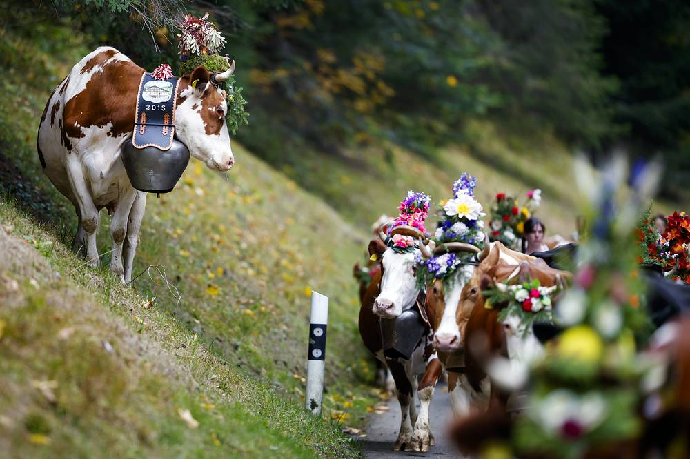 A cow climbs on the roadside as the Favre family leads their 46-cow herd during the alp descent, so-called 'desalpe' in French, towards the village of l'Etivaz in Switzerland, September 30