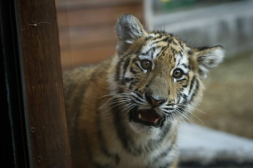 A three-months old Siberian tiger cub plays on the first day of being presented to the public at the Zoo of Lisbon, Portugal, October 4