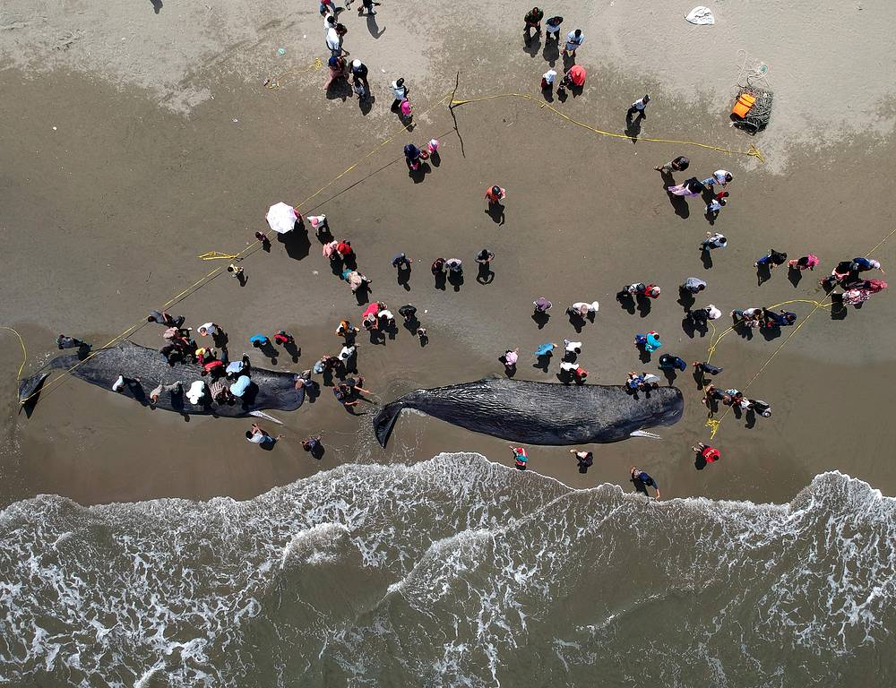 Locals gathering around two sperm whale carcasses at a beach in Banda Aceh, Indonesia, November 14. Four of a total of nine sperm whales that stranded alive on the beach finally died despite strong efforts to get the stranded whales back to the open sea