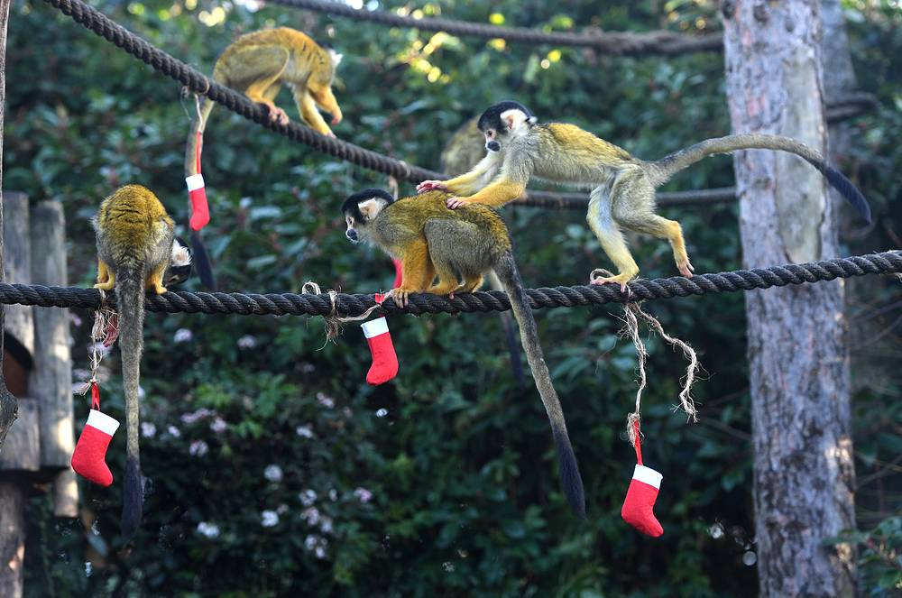 Squirrel Monkeys receive Christmas treats at London Zoo