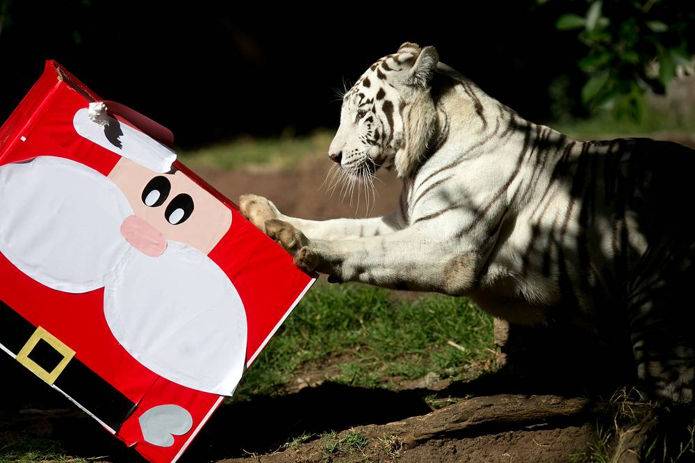'Romina' the Bengal tiger receives her Christmas gift, including some candy, allowed on her diet, as part of the activity 'Zoorprises for Christmas' at La Aurora zoo in Guatemala