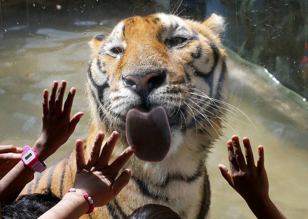 Orphans interact with a Bengal tiger during a Christmas visit to the Malabon Zoo, Malabon city, Philippines, December 21