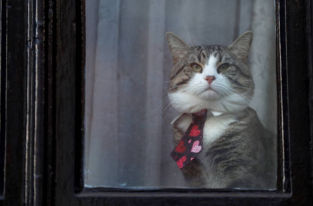 Julian Assange's cat sits behind a window at Ecuador's embassy in London, Britain, February 6