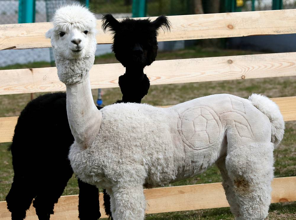 Female alpaca Juliette with a haircut depicting a soccer ball into its fur made by zoo keepers for the upcoming 2018 FIFA World Cup, stands in front of male alpaca Romeo inside an open-air enclosure at the Royev Ruchey zoo, Krasnoyarsk, May 18