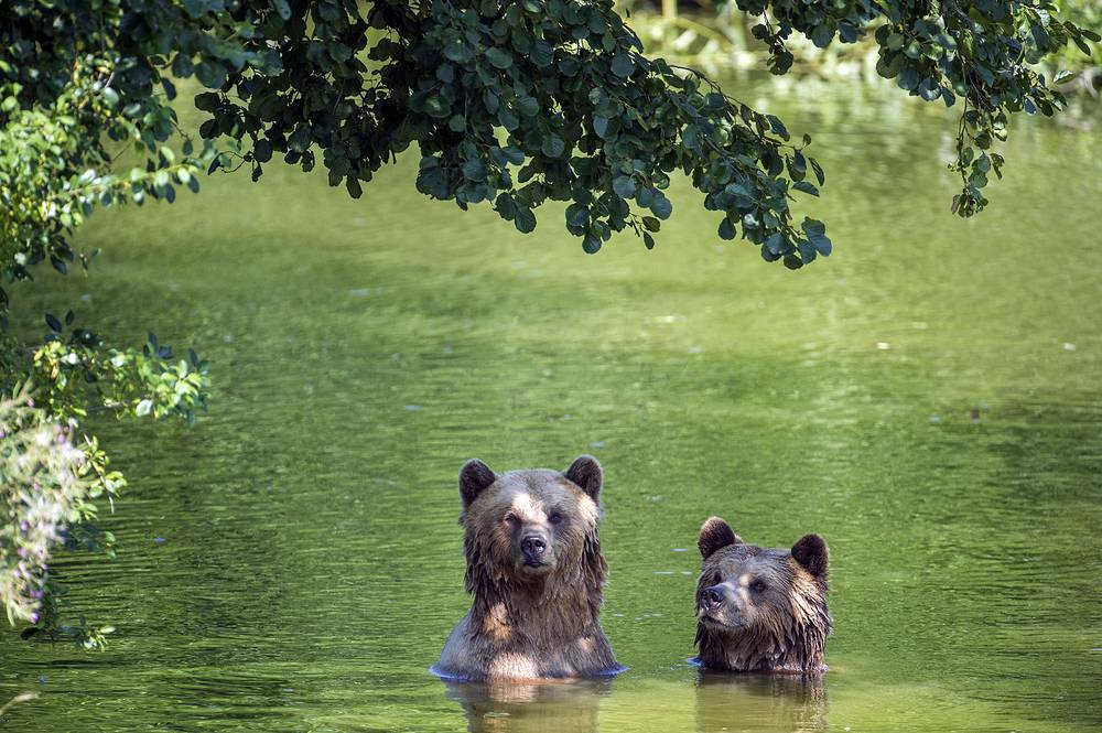 Two brown bears bathe in their enclosure at the Wildpark Poing in Poing, August 8