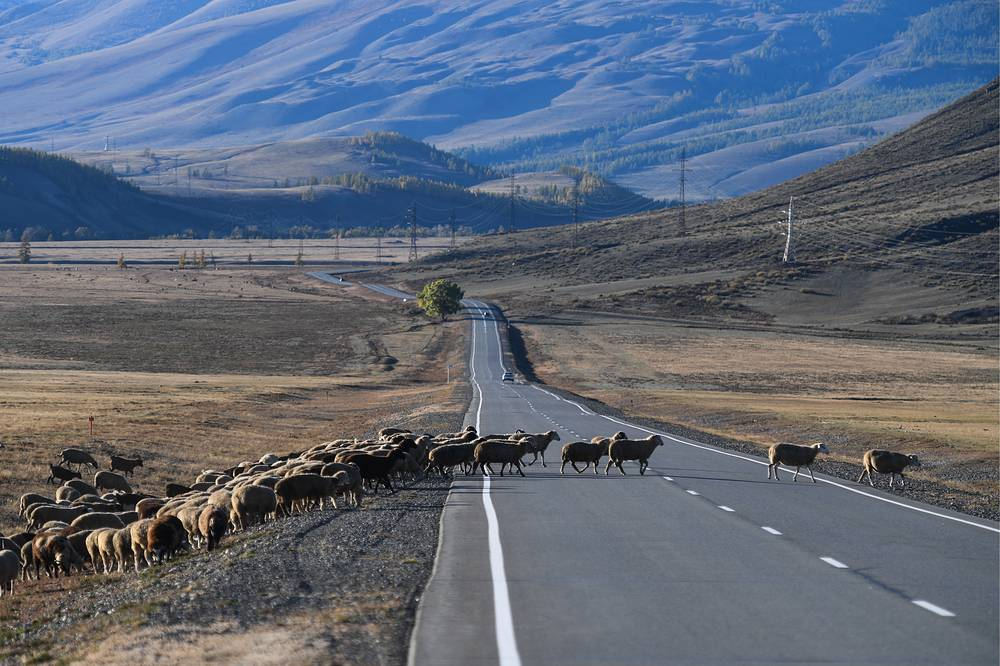 A flock of sheep crossing the Chuya Highway in Altai's Kosh-Agach District