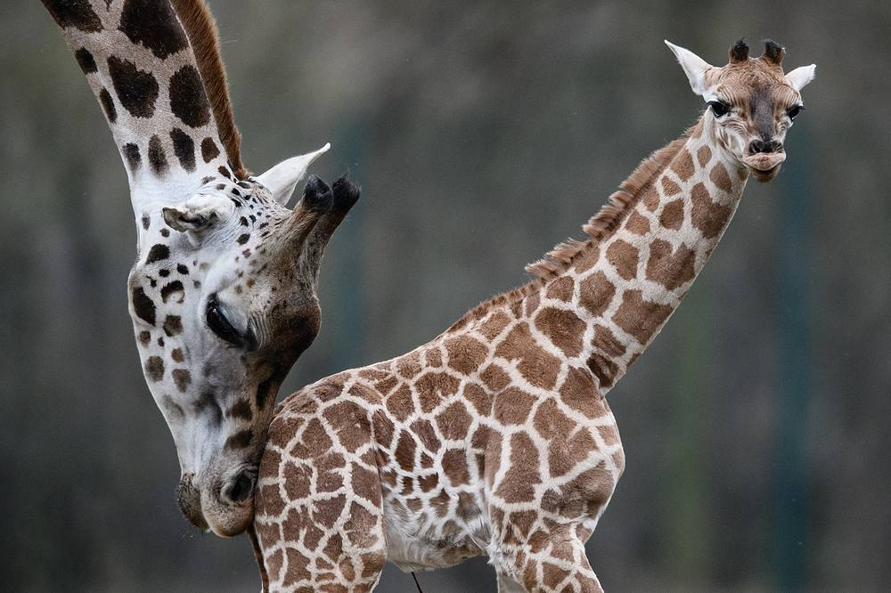 The Giraffe cub Ella stands next to her mother Amalka as she walks for the first time in the outdoor enclosure of the Tierpark in Berlin, November 20
