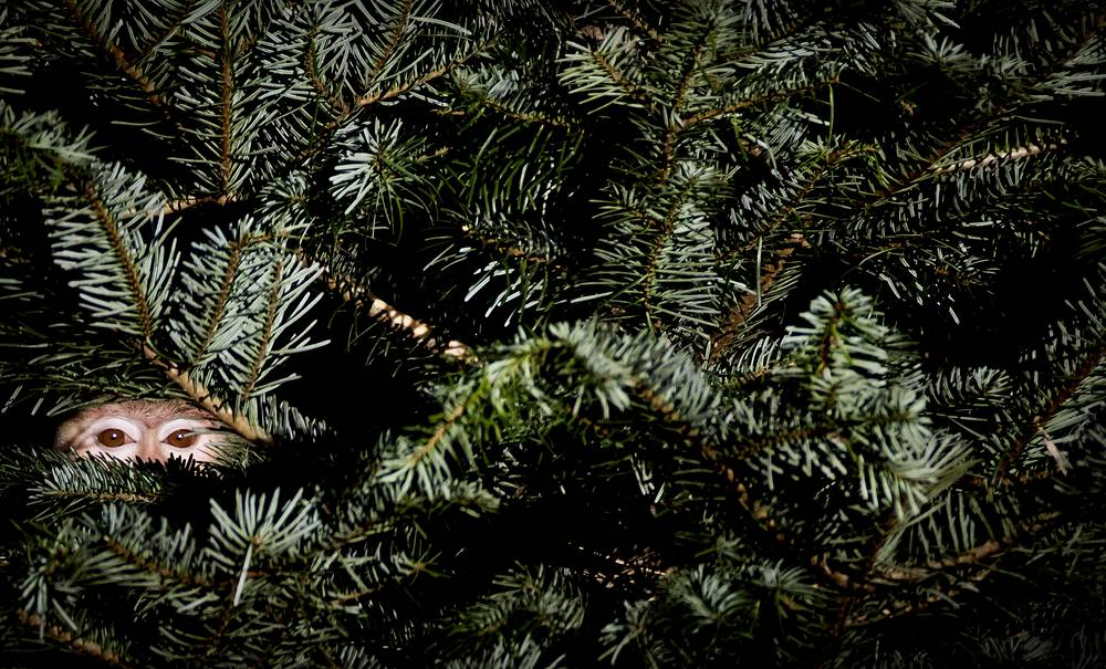 A baboon peers through the branches of an old Christmas tree at the Amersfoort Zoo in Amersfoort, January 6