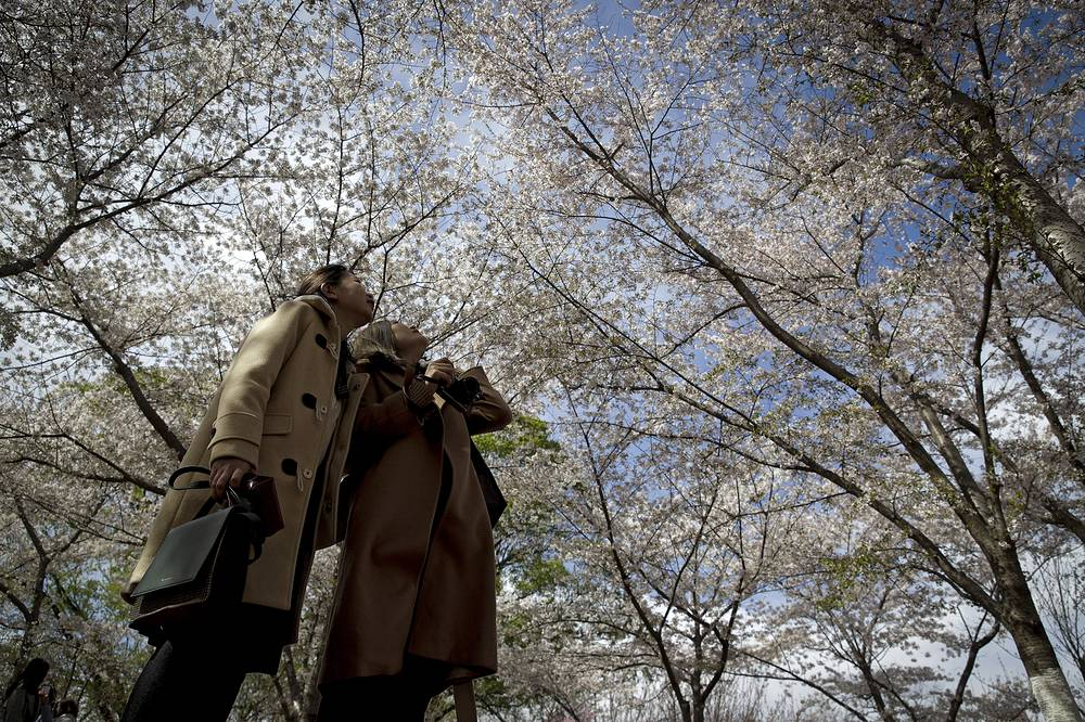 Yuyuantan Park has more than 2,000 cherry trees