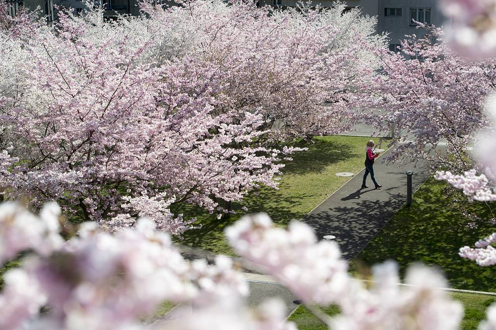 A woman walking under flowering cherry trees on an warm spring day at the Mon Repos Park in Lausanne, Switzerland