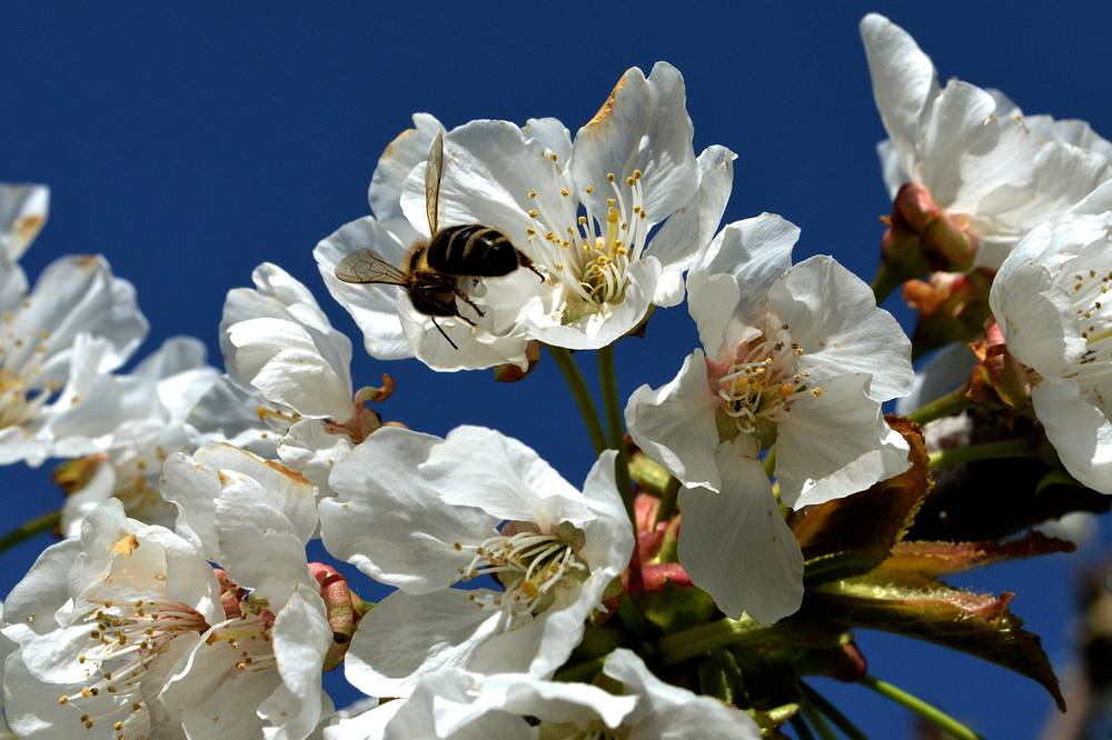 A bumblebee collecting pollen from a cherry blossom in Caceres, Spain