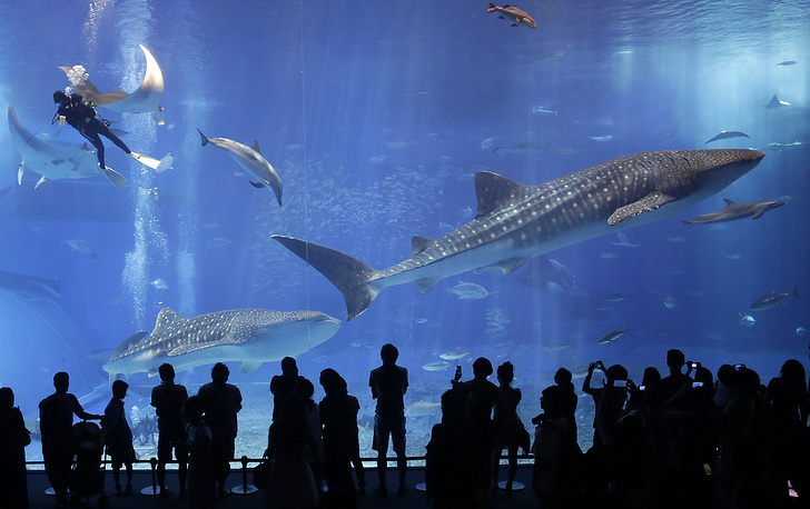 Photo: Okinawa Churaumi Aquarium located on the southern island of Okinawa in Japan. Whale sharks and manta rays can been seen swimming alongside many other fish species in the main tank