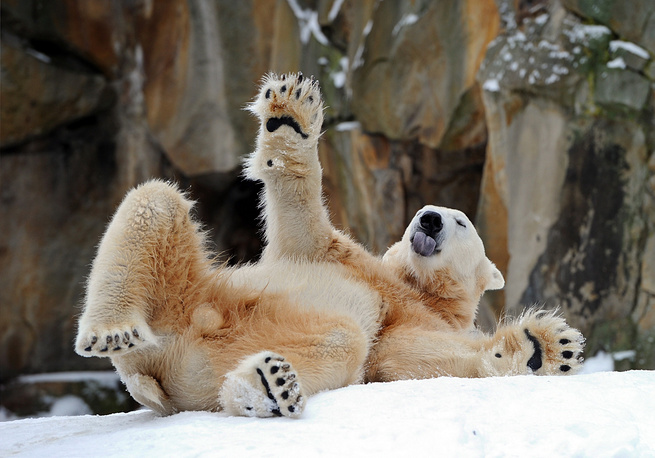 The wold's population of polar bears today is about 25,000, though scientists fear it may decrease by two thirds by 2050