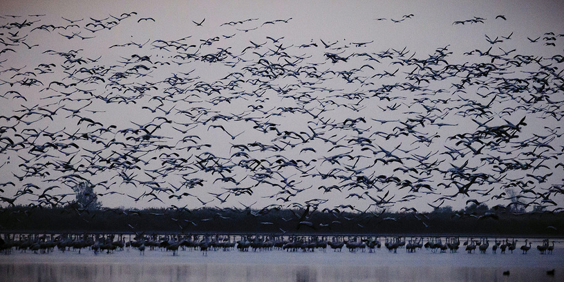 Hortobagy National Park is Hungary's largest protected area, and the largest semi-natural grassland in Europe. Photo: Common cranes fly over a pond in Hortobagy National Park