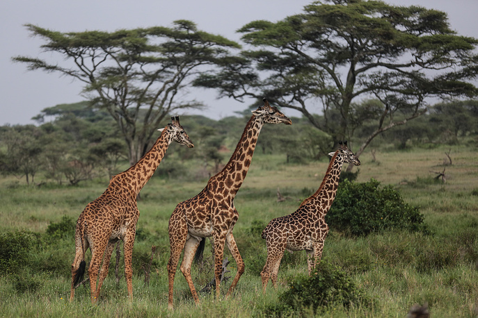 Serengeti National Park is the oldest and most popular national park in Tanzania and is known for its annual migration of millions of wildebeests, zebras and gazelles. Photo: Maasai giraffes walk in Serengeti National Park