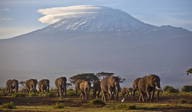 Two species are traditionally recognised, the African and the Asian elephant, although some evidence suggests that African bush elephants and African forest elephants are separate species. Photo: Elephants in Africa Mount Kilimanjaro in Tanzania