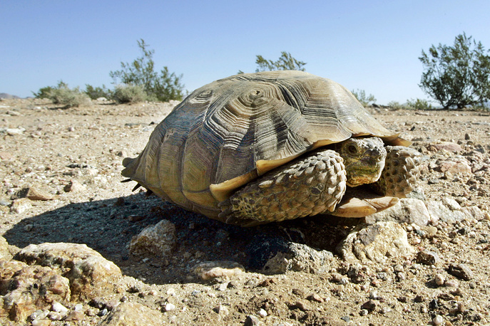 Desert tortoises are two species of tortoise native to the Mojave and Sonoran Deserts of the southwestern United States and northwestern Mexico. The tortoises are included in IUCN Red List of vulnerable species