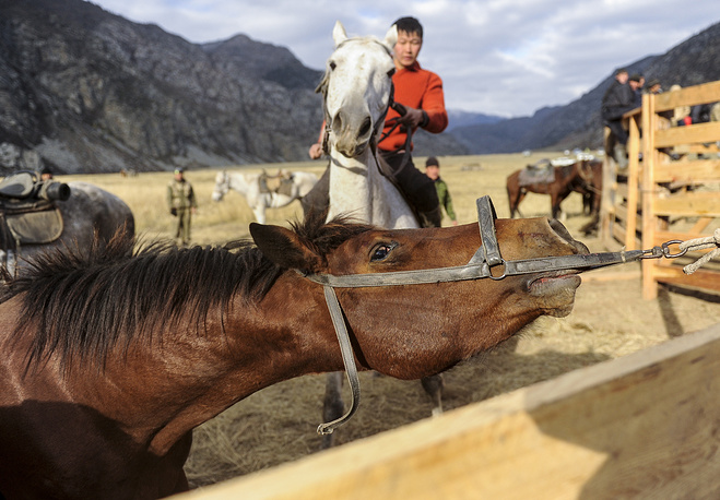 Horses for the game are specially bred in the mountains. Photo: A horse ahead of a game of buzkashi