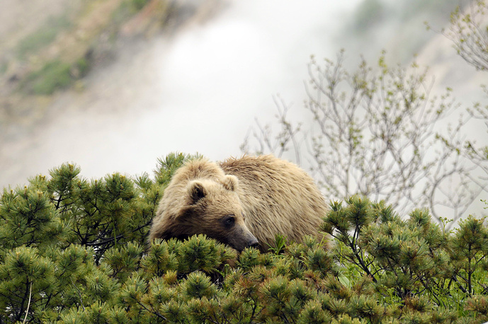 A bear in the Valley of Geysers in the Kronotsky State Biosphere Nature Reserve