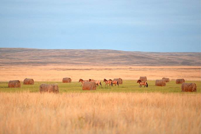 Przewalski's horses at the Orenburgsky nature reserve