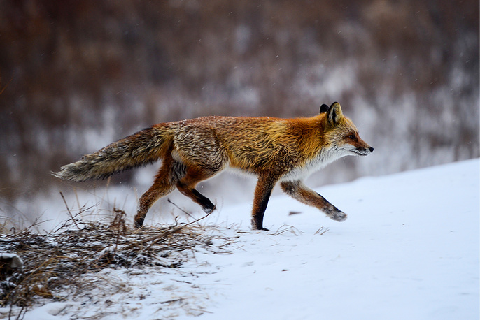 A fox seen on Vladivostok's Russky Island, Russia, January 9