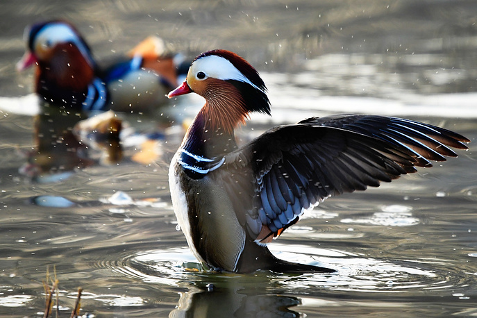 Mandarin ducks on the Bogataya River outside Vladivostok, Russia, April 10