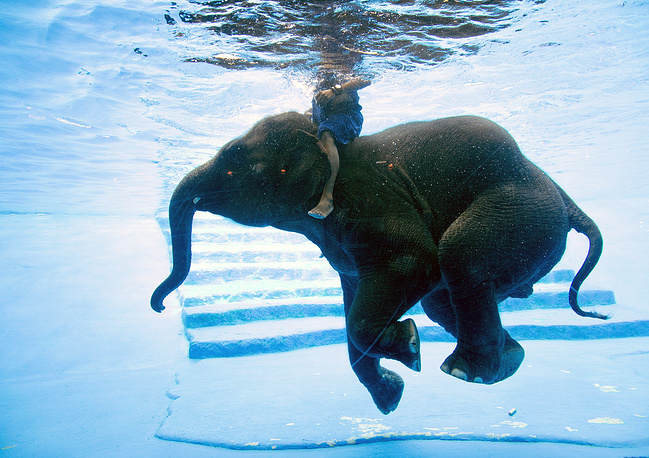 An eight-year-old female elephant named Saen Dao dives with a Thai mahout inside a glass panel swimming pool at Khao Kheow Zoo, Thailand, June 1
