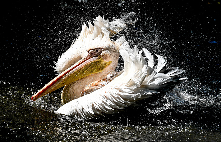 A great white pelican cools off in a pond in the zoo of Dresden, Germany, June 12