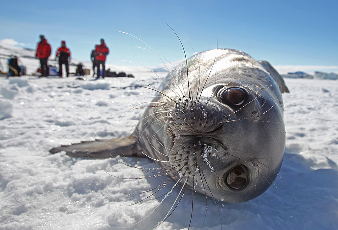 A Weddell seal basks in the sun on sea ice after emerging from a hole made by scientific divers for underwater ecological surveys, Antartica, 2012