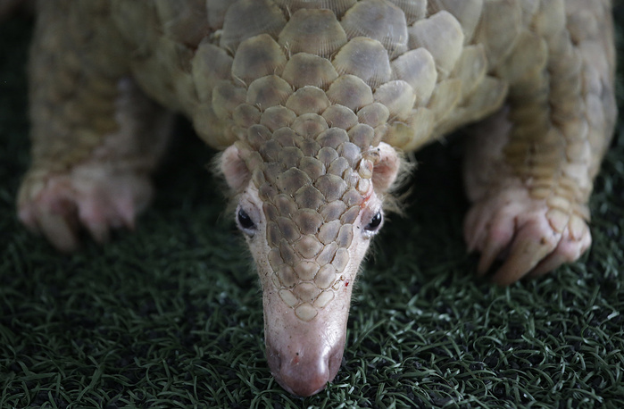 A pangolin seized by Thai customs officials in Bangkok, Thailand, August 31