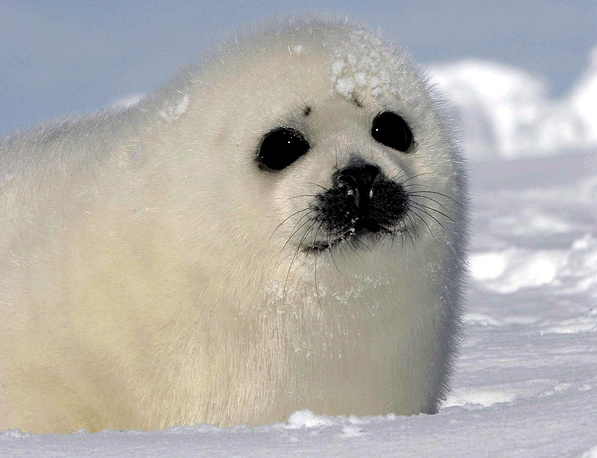 A harp seal pup or 'whitecoat' on an ice floe in the Gulf of St. Lawrence, Prince Edward Island, Canada