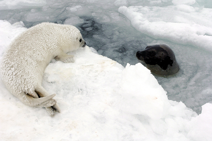 An adult harp seal pops its head through the ice as its baby lays on the ice in the Gulf of St. Lawrence off the coast of Newfoundland, Canada