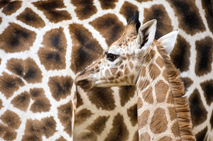 A two-week old male Rothschild's giraffe looks on next to its nine-year old mother, Laura in their enclosure in Sosto Zoo in Nyiregyhaza, Hungary, March 13