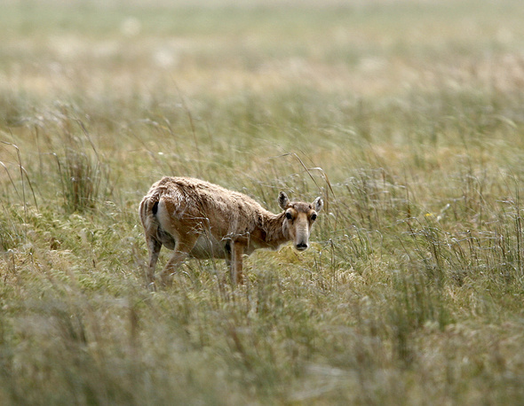 Saiga antelope is a critically endangered antelope that originally inhabited a vast area of the Eurasian steppe zone. Today, the dominant subspecies is only found in one location in Russia and three areas in Kazakhstan