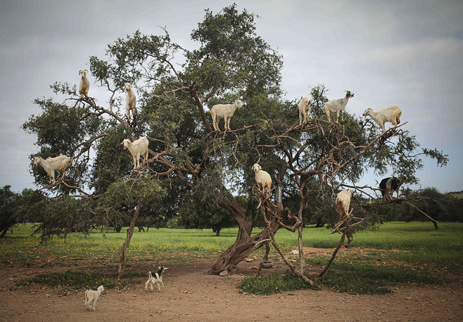 Tree-climbing goats feed on an Argania Spinosa, known as an Argan tree, in Essaouira, Morocco, April 4. By eating the fruit and spitting out the seeds, the goats help in the process of manufacturing Argan oil