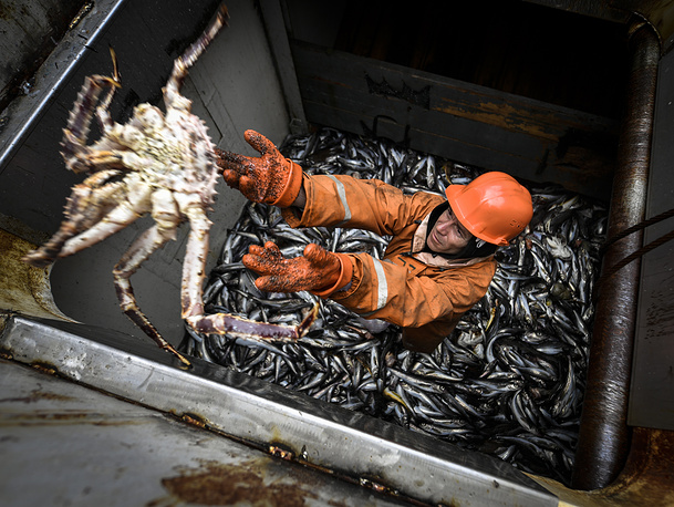 A Red king crab caught into a snurrevod, a bottom net (Danish seine), of the Uraganny seiner (MRS-450) during a coastal fishing of Alaska Pollock in the Peter the Great Bay, May 29
