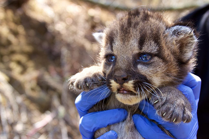 A mountain lion cub discovered by researchers from the National Park Service in a remote area of the Santa Monica mountains, California, September 4