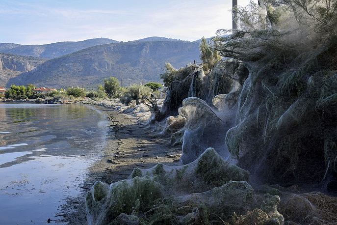 A huge cobweb covers the vegetation along the coast of Aitoliko, about 250 km west of Athens, September 18. Experts say it is a seasonal phenomenon, caused by Tetragnatha spiders
