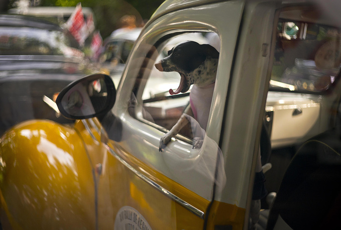 A dog yawns in the cab of a classic 1938 Ford, currently being used as a taxi, as it sits parked before the XIV rally of antique cars in Havana, November 4